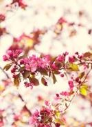 8-9 cherry blossoms