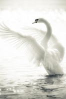 09-13 swan
