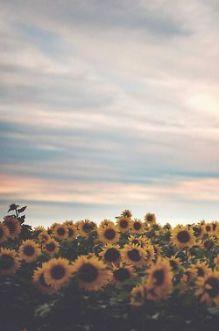 09-27 sunflowers