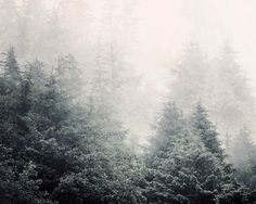 12-13 evergreens in the mist