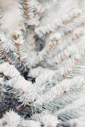 12-20 snow pine