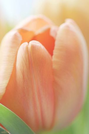 7-7 tulip