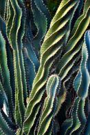 8-1 cactus