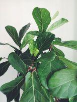 8-1 leaves