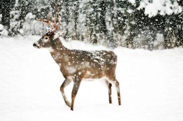 12-26 deer